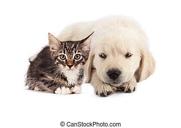 Puppy irritated with kitten - A cute white golden retriever...