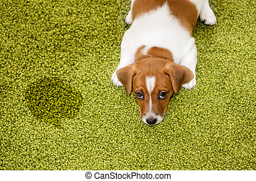 Puppy Jack russell terrier lying on a carpet and looking...