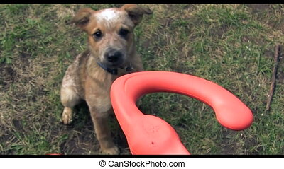 Puppy Jumping For Play Toy - A owner playing with a puppy...