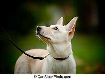 puppy, kijken naar, eigenaar