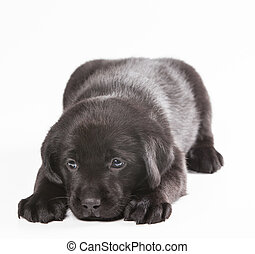 Puppy labrador on a white background