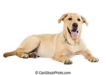 Puppy Labrador retriever cream