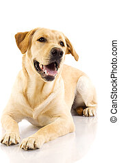Puppy Labrador retriever cream in front of white background
