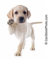 puppy labrador retriever - purebred puppy labrador retriever...