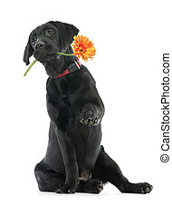 Puppy Labrador retriever holding a flower in its mouth