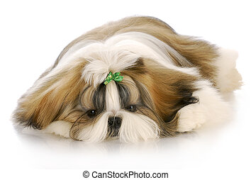puppy laying down - adorable shih tzu puppy with green bow ...