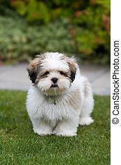 puppy, lhasa apso