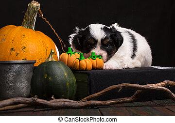 puppy lies near the Halloween pumpkins