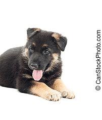 puppy lies on a white background