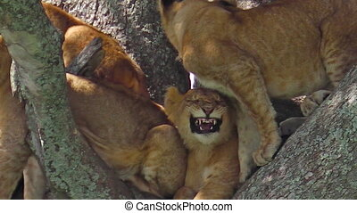 Puppy lion on tree - puppy lion on a tree with its family in...