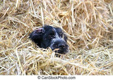 Puppy - Little German wirehair