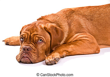 Puppy of Dogue De Bordeaux Looking at Camera