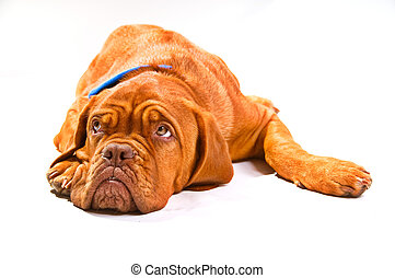 Puppy Looking up - Puppy of Dogue De Bordeaux Looking Up