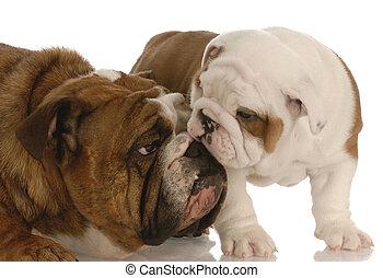 puppy love - english bulldog mother nurturing seven week old...