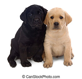 Puppy love - Two Labrador Retriever puppys leaning on one...