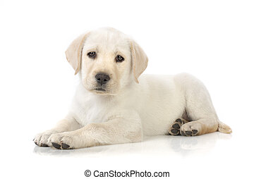 Puppy lying down - Adorable Labrador retriever puppy against...