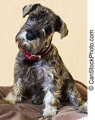 puppy of a miniature schnauzer