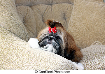 Puppy of a shih-tzu. - Puppy of a shih-tzu junior. Lies on a...