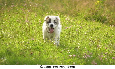 puppy of Alabai breed - a puppy of breed alabai on the...