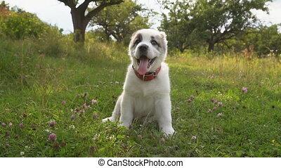 puppy of Alabai breed