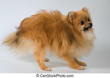 Puppy of breed a Pomeranian spitz-dog in studio