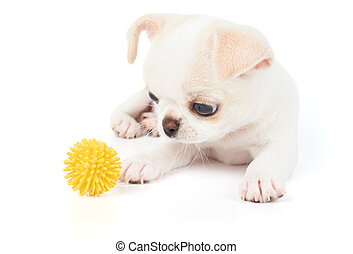 Puppy of Chihuahua plays with pet toy - Puppy of Chihuahua...