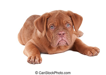 Puppy of dogue de bordeaux