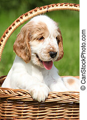 Puppy of English Cocker Spaniel in brown basket