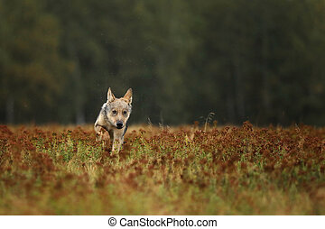 Puppy of Grey wolf running on colorful meadow - Canis lupus