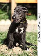 Puppy of irish wolfhound
