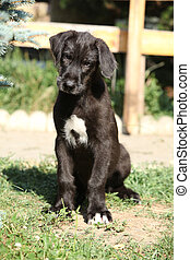 Puppy of irish wolfhound looking at you - Amazing puppy of...