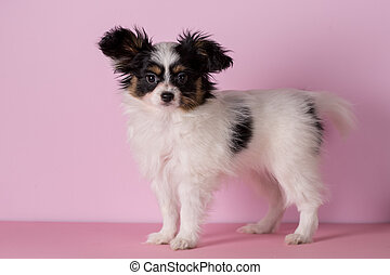 Puppy of papillon breed