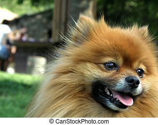 puppy of pomeranian
