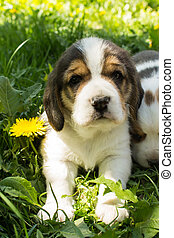Puppy of the Beagle breed sits in the grass
