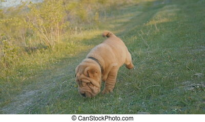 Puppy of the breed of shar pei