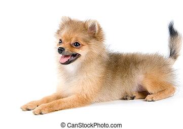 Puppy of the spitz-dog in studio