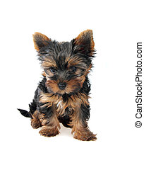 Puppy of the Yorkshire Terrier in front on white background