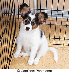 Puppy papillon in cage