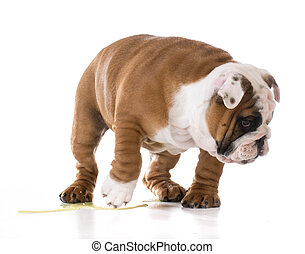 puppy peeing - bulldog puppy peeing isolated on white...