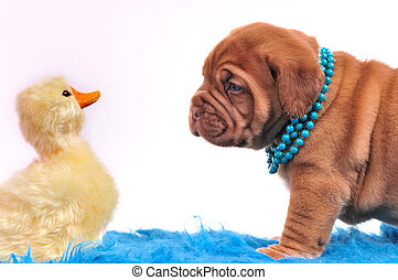 Puppy playing with a duck