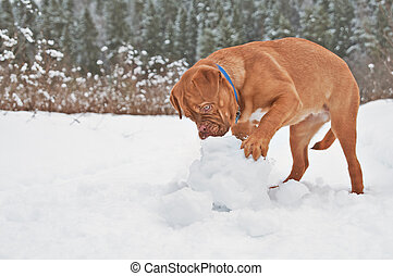 Puppy playing with snow ball
