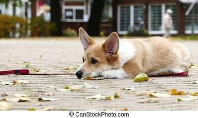 Puppy plays outdoors - Corgi Puppy having rest outdoors in...