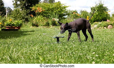 Puppy plays with the water sprinkle - Mexican xoloitzcuintle...