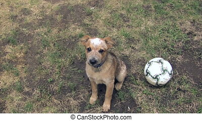 Puppy Pleading for Football - A puppy looking very sad and...