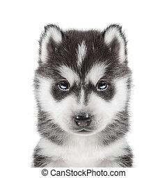 puppy Portrait - Husky - portrait of a puppy Siberian ...