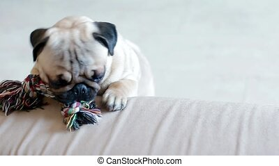 Puppy pug playing with a toy. Cute dog at home.
