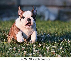 puppy running in the grass - english bulldog