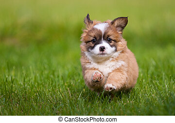 Puppy runs - A small 7 weeks old mixed breed puppy runs to...