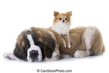 puppy saint bernard and chihuahua in front of white background