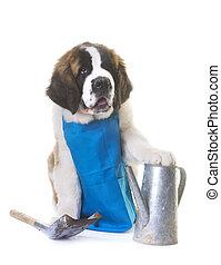 puppy saint bernard gardener